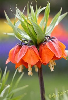 Fritillaria Crown Im Beautiful gorgeous pretty flowers