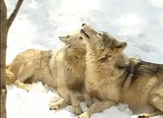 White Wolf: Wolves snuggle up to one another. (Video)