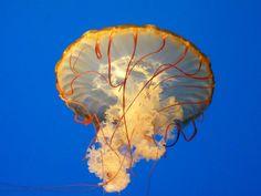 Pacific Sea Nettle by jezebel144.deviantart.com on @deviantART