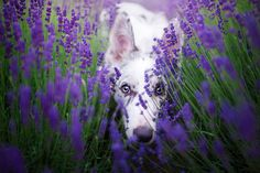 Dogs In The Lavender Gardens