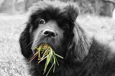 Por que cachorros comem grama?