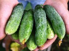 Secretele unei recolte uriașe de castraveți - 6 Lucruri de care trebuie să ții cont Growing Gardens, Cucumber, Vegetables, Gardening, Country, Agriculture, Plant, Lawn And Garden, Rural Area