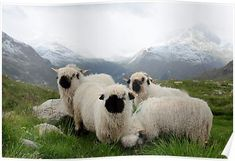 """Have you heard of Valais Blacknose Sheep? If not, you may think something like """"Aw, cute little sheep with adorable black noses"""" right? Zermatt, Valais Blacknose Sheep, Farm Animals, Cute Animals, Unusual Animals, Black Faced Sheep, Sheep Breeds, Sheep Art, Highland Cattle"""