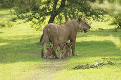 Selous, Mikumi and Ruaha National Park Safari From Moonlight Tours Expedition Tanzania Safari, Game Reserve, Big Cats, Kenya, Mammals, National Parks, Wildlife, Tours, Horses