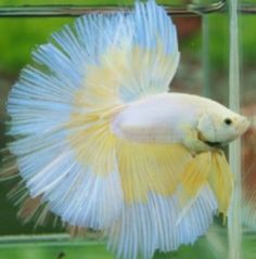yellow and white butterfly HM betta