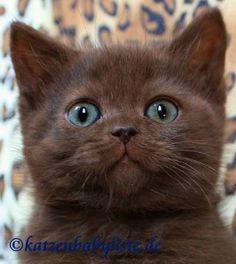 BKH chocolate Kitten.jpg (320×358)