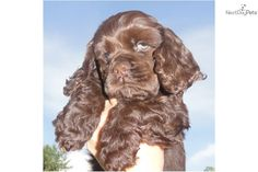 Chocolate Cocker Puppies For Sale | Cocker Spaniel Puppy for Sale: Cocker Spaniel Pups Ch Line Chocolate ...