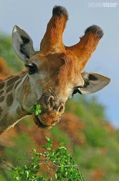 Feeding giraffe ...photo by Johann Visser