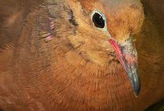 Científicos regresan a México la paloma de Socorro ¡Después de 42 años! - http://webadictos.com/2015/04/09/paloma-de-socorro-regresa-a-mexico/?utm_source=PN&utm_medium=Pinterest&utm_campaign=PN%2Bposts