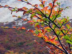 Lengas en otoño