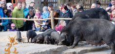 Schweinefütterung im Tierpark Görlitz.