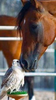 Beautiful horse nuzzling pretty white hawk or falcon. I am not sure what, but it is beautiful!