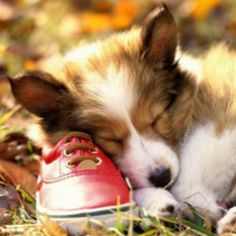 Everything we all admire about the Cute Pembroke Welsh Corgi Puppies Welsh Corgi Pembroke, Cute Puppies, Cute Dogs, Dogs And Puppies, Corgi Puppies, Animals And Pets, Baby Animals, Cute Animals, Shetland Sheepdog