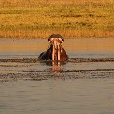 Mvuu Lodge hippo