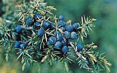 SHTF Medical Skill of the Day: The Almighty Juniper Berry (Natural Remedy Week)  Treats bladder infections, kidney disease, chronic arthritis, gout, fluid retention, cystitis, skin conditions, inflammation, digestive problems, menstrual irregularities, and high blood pressure.