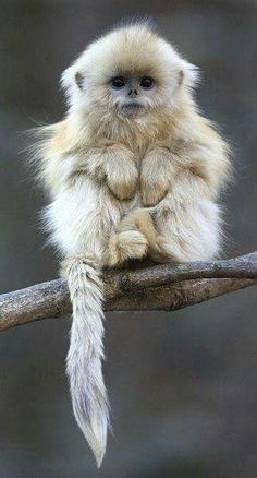 The beautiful golden snub-nosed monkey!