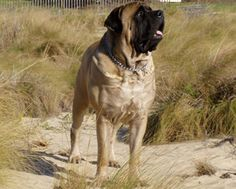 No he's not a pitbull, but I miss my English Mastiff, Mr. Buster Brown! :(