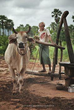 Of Cows and Men, Myanmar Myanmar Travel, Burma Myanmar, Village Photography, Human Cow, Chicken Painting, Bay Of Bengal, Amazing India, Bagan, Farm Lifestyle