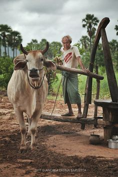 Of Cows and Men . Myanmar
