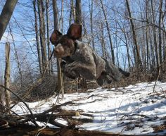 German Shorthaired Pointers Club of America