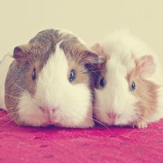 Oh hai, we're a pair of super cute little guinea pigs, wanna cuddle with us? :) #cute #animals #pets #guinea_pigs