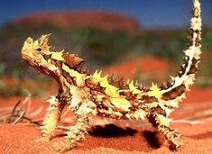 The Thorny Devil is an Australian lizard. It is also known as the Thorny Dragon, Thorny Lizard, or the Moloch and is the sole species of genus Moloch. Reptiles Et Amphibiens, Mammals, Endangered Reptiles, Beautiful Creatures, Animals Beautiful, Beautiful Images, Lizard Types, Animals And Pets, Cute Animals