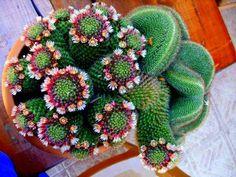 Lindo cactus in bloom