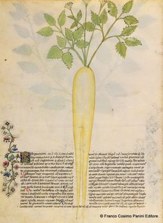 """Historia Plantarum"", Milan, Italie, text: Pedanius Dioscoride of Anazarbos AD), images: Giovannino et Salomone de' Grassi (ca. Medieval Manuscript, Illuminated Manuscript, Medieval Paintings, Medieval Life, Stippling, Gothic Art, Gravure, Science And Nature, Botanical Illustration"