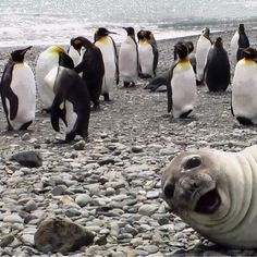 A seal photobombing