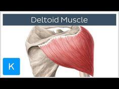 Deltoideus Musculus