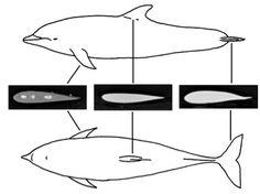 Resultado de imagem para dolphin airfoil