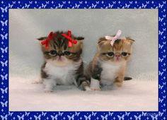 Exotic Shorthair Cat Breeders - Cats - Kittens