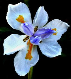 Smart Seeds Emporium is your leading online seed store for rare, exotic seeds from around the world. We've have ethical growers on six continents to provide fresh seeds. African Iris, African Tattoo, Wild Iris, White Butterfly, Seed Pods, Drought Tolerant, Flower Seeds, Amazing Flowers, My Flower