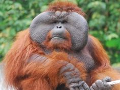 In addition to their size, adult male orangutans are easily identified by their flaring cheek pads (called flanges), and the large throat sac they use to produce vocalizations known as 'long calls', which can be heard over a mile away. Click through to learn more about orangutans! (Photo: Willliam O'Neal)