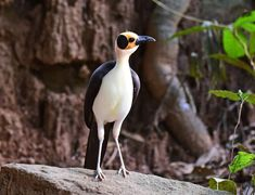 "birdsbirdsbirdsbirdsbirds: ""White-necked rockfowl - Picathartes gymnocephalus """