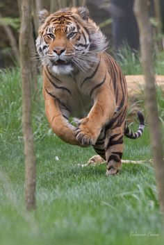 Amazing wildlife - Bengal Tiger photo More Big Cats, Cool Cats, Cats And Kittens, Beautiful Cats, Animals Beautiful, Animals Amazing, Animals And Pets, Cute Animals, Wild Animals