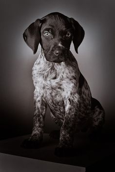 Short hair pointer puppy