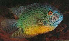 Ciclide Fasciato Tropical Freshwater Fish, Tropical Fish, Oscar Fish, Aquarium Fish, Fish Tank, Fresh Water, Creatures, Hero, Tanks