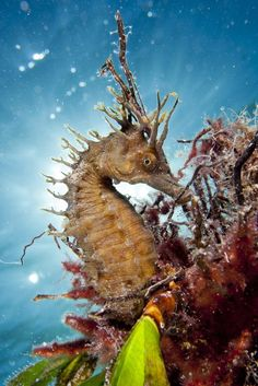 ♥ Staring at the Sun - The aristocracy of the Mediterranean fauna is the hippocampus, so attractive and shy but this one was very proud to model attached in Poseidonia oceanica with the sunset in the background as a crown.    Chalkidiki    Copy Credit : Nicholas Samaras