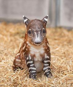 Baird's Tapir Born at Nashville Zoo