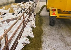 Commercial Dairy Goat farming with complete feed given to goats via a fence line feeder in UK #goatvet
