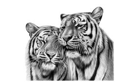 Welcome to the fine art gallery and online shop of Richard Symonds where you can buy limited edition prints of elephants, tigers, lions and other wildlife art. Pencil Drawings Of Animals, Crayon Drawings, Art Drawings, Tiger Drawing, Tiger Art, Wildlife Paintings, Wildlife Art, Scratchboard Art, Lion Painting
