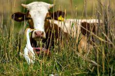 Sığır balıkçılları, büyükbaş hayvanlardan ürkerek kaçan sürüngen ve böceklerle beslendiği için sürekli onları takip ediyor. Detaylar ajanimo.com'da.. #ajanimo #ajanbrian #hayvan #animal #inek #cow  #love