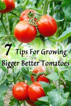 Grow Organic Tomatoes Tips for growing bigger tomatoes Growing Tomatoes Indoors, Tips For Growing Tomatoes, Growing Tomato Plants, Growing Tomatoes In Containers, Growing Vegetables, Grow Tomatoes, Baby Tomatoes, Cherry Tomatoes, Garden Tomatoes