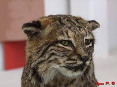 (Foto di Ignazio Pillitu) (Gatto Selvatico Sardo - Lince (Fuji S200) EXR) Il gatto selvatico sardo (Felis lybica sarda Lataste, 1885) è un felino carnivoro. È, insieme con la volpe sarda, il più grande mammifero predatore presente in Sardegna.