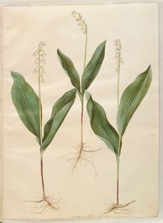 A faj kettős latin neve:Convallaria majalis Magyar név:gyöngyvirág Család:Ruscaceae Rend:Asparagales Életforma:G  Termés:bogyó