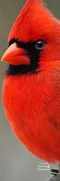 Virginia's State Bird - Red Cardinal