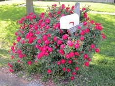 My 2 year old knock out rose bush