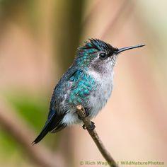 Bee Hummingbird.