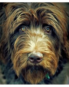 """Another Pinner Wrote """"Gorgeous labradoodle"""" - but I don't believe this is a Labradoodle. I can't remember the name of this breed - but it sure is a beautiful face! Maybe an Irish Wolfhound? Baby Dogs, Pet Dogs, Dogs And Puppies, Dog Cat, Pet Pet, Beautiful Dogs, Animals Beautiful, Cute Animals, Wild Animals"""